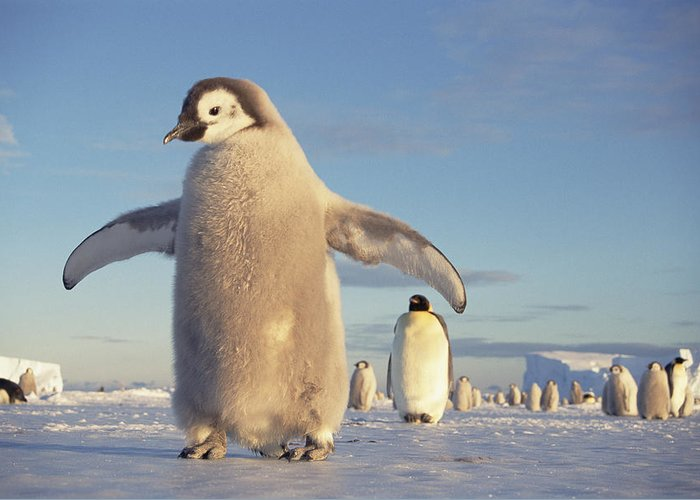 Mp Greeting Card featuring the photograph Emperor Penguin Aptenodytes Forsteri by Tui De Roy