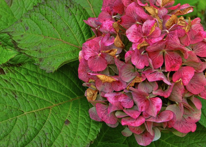 Hydrangea Greeting Card featuring the photograph Endless Summer by JAMART Photography