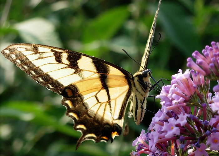Butterflies Greeting Card featuring the photograph Full Of Life by Amanda Vouglas
