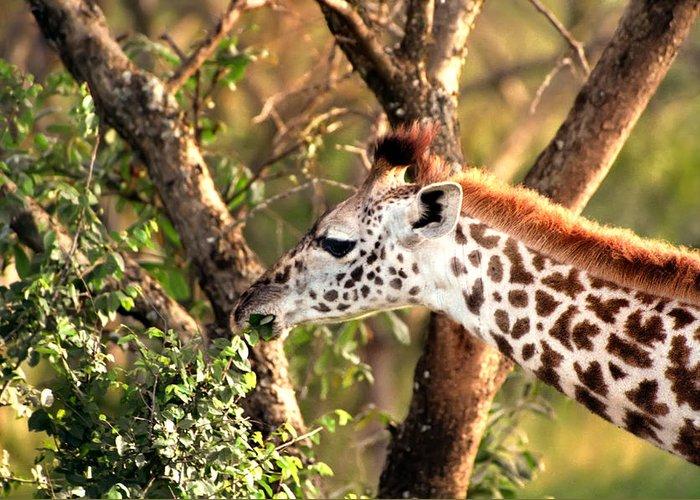 Giraffe Greeting Card featuring the photograph Giraffe by Sebastian Musial