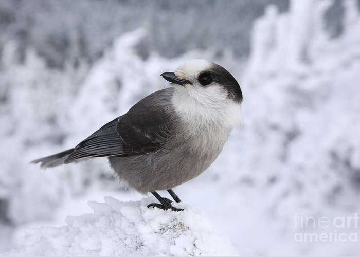 Wings Greeting Card featuring the photograph Gray Jay - White Mountains New Hampshire Usa by Erin Paul Donovan