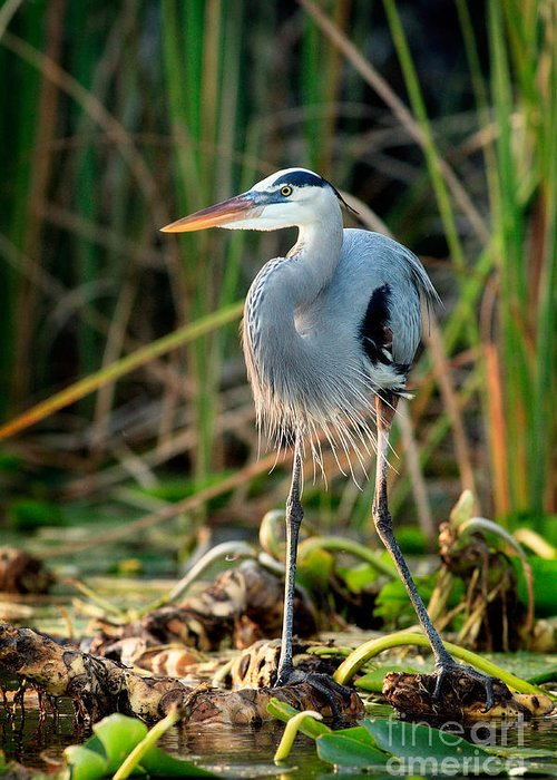 Great Blue Heron Greeting Card featuring the photograph Great Blue Heron by Matt Suess