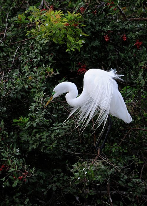 Egret Greeting Card featuring the photograph Great Egret by Keith Lovejoy