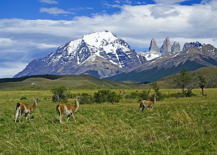 Patagonia Greeting Card featuring the photograph Guanacos In Torres Del Paine by Michele Burgess