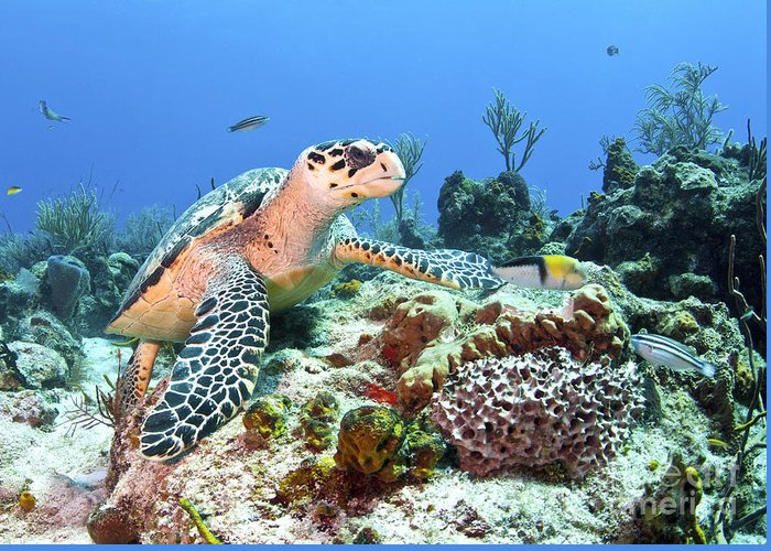 Coral Greeting Card featuring the photograph Hawksbill Turtle Feeding On Sponge by Karen Doody