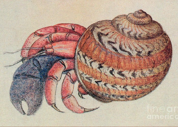 Hermit Crab Greeting Card featuring the drawing Hermit Crab by John White
