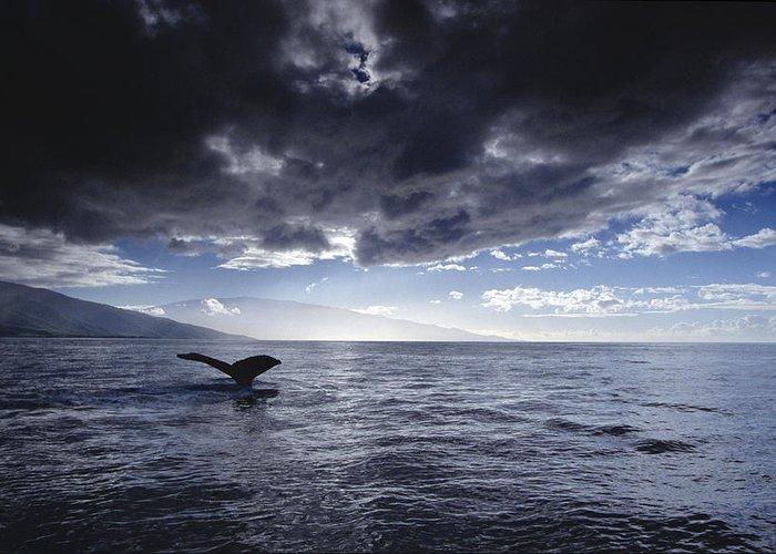 00129912 Greeting Card featuring the photograph Humpback Whale Tail Maui Hawaii by Flip Nicklin