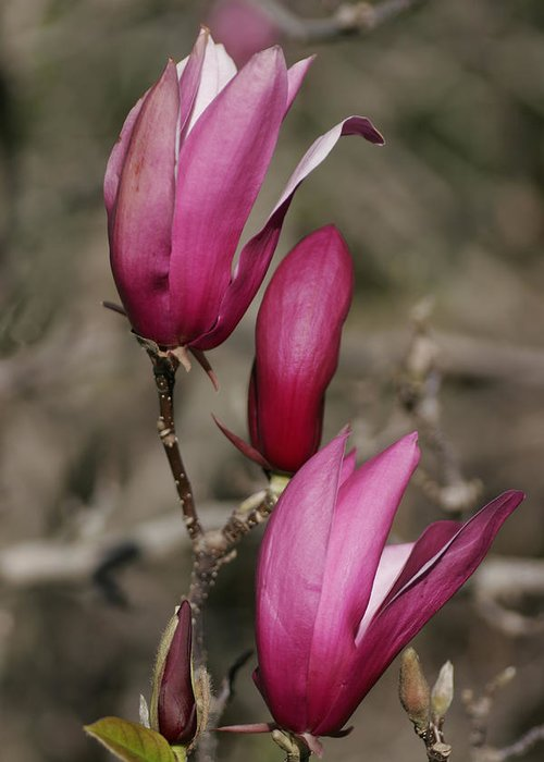 Flower Greeting Card featuring the photograph Magnolia 2 by Masami Iida