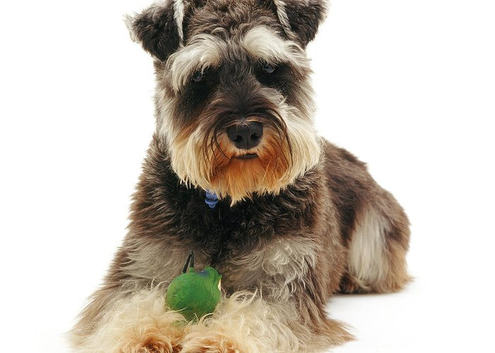 Dog Greeting Card featuring the photograph Miniature Schnauzer by Jane Burton