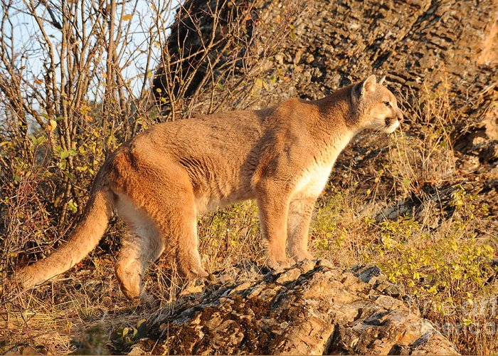 Mountain Lion Greeting Card featuring the photograph Mountain Lion by Dennis Hammer