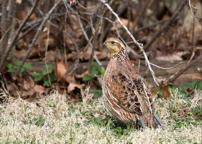 Nature Greeting Card featuring the photograph Northern Bobwhite Quail by Jack R Brock