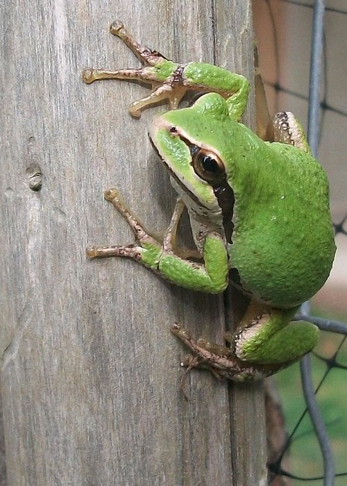 Frog Greeting Card featuring the photograph Pacific Tree Frog by Shannon Gresham