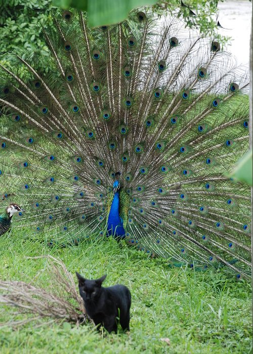 Animals Greeting Card featuring the photograph 2 Peacocks And A Black Pussy Cat by Rob Hans