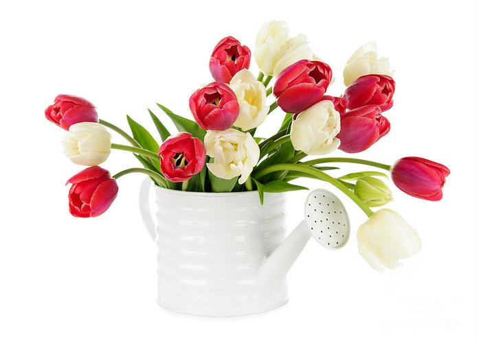 Tulips Greeting Card featuring the photograph Red And White Tulips by Elena Elisseeva