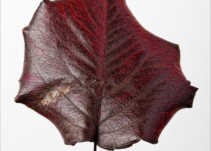 Leaf Greeting Card featuring the photograph Red Leaf 4 by Robert Ullmann
