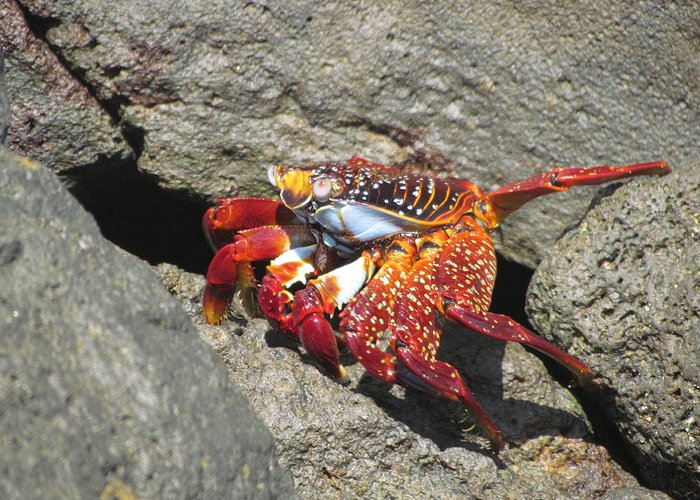 Red Rock Crab Greeting Card featuring the photograph Red Rock Crab by Patti Valenti