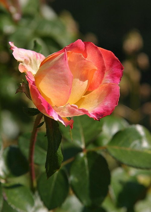 Rose Greeting Card featuring the photograph Rose by Donald Tusa