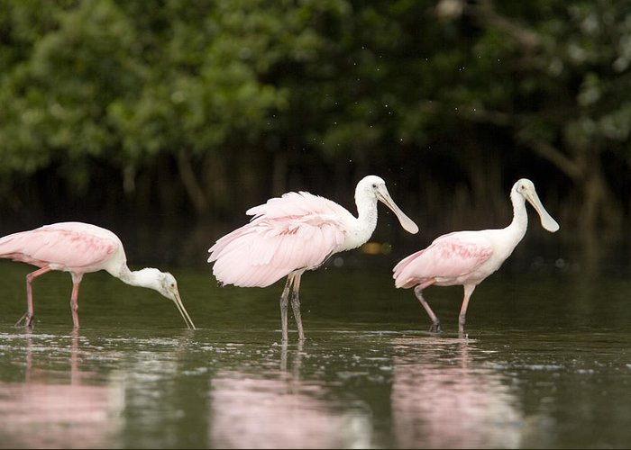 Three Animals Greeting Card featuring the photograph Roseate Spoonbills Ajaia Ajaja Feed by Tim Laman