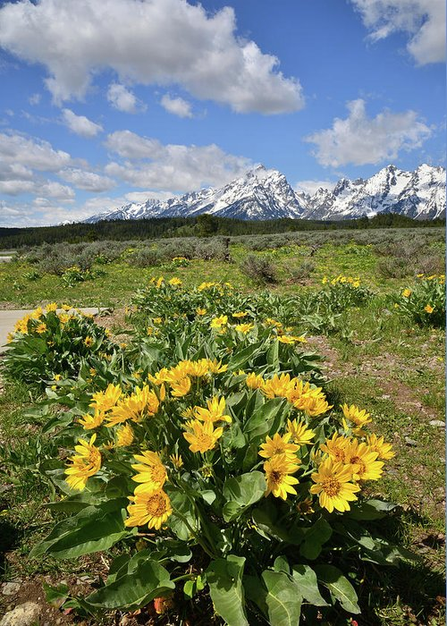 Grand Teton National Park Greeting Card featuring the photograph Teton Balsam Root by Ray Mathis