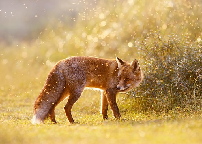 Red Fox Greeting Card featuring the photograph The Fox And The Fairy Dust by Roeselien Raimond
