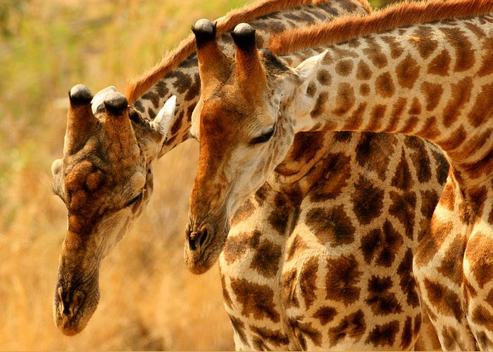 Wildlife-giraffe Greeting Card featuring the photograph Time To Rest by John Bradford