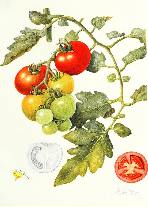 Tomato Drawings Greeting Cards