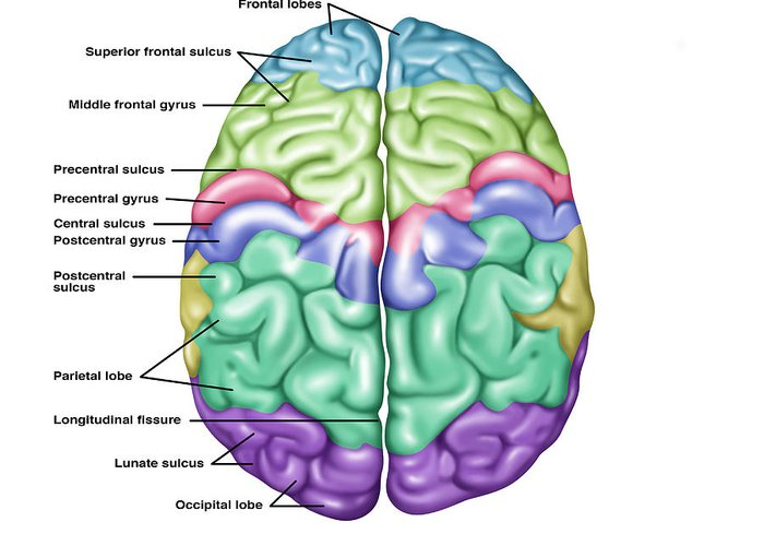 Brain Stem Diagram Easy Car Wiring Diagrams Explained