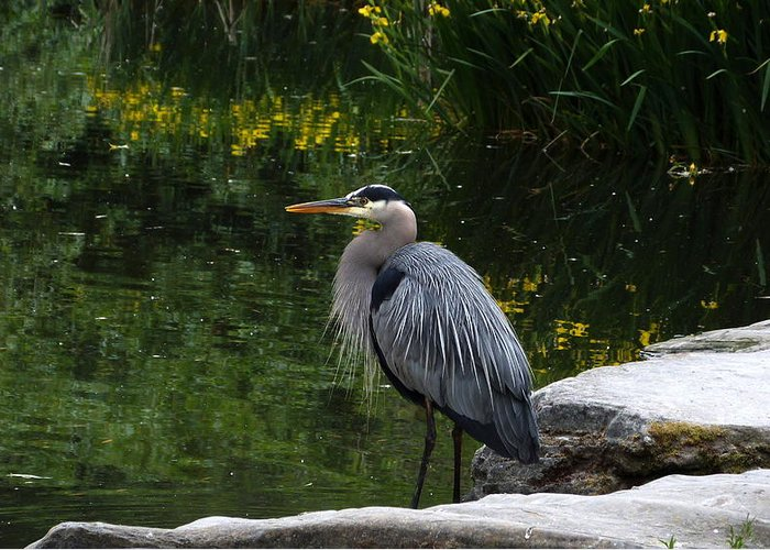 Great Blue Heron Greeting Card featuring the photograph 20-05-16 by Darrell MacIver