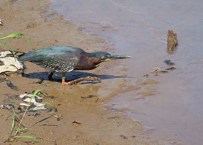 Birds Greeting Card featuring the photograph 2013-baby Green Heron by Martha Abell