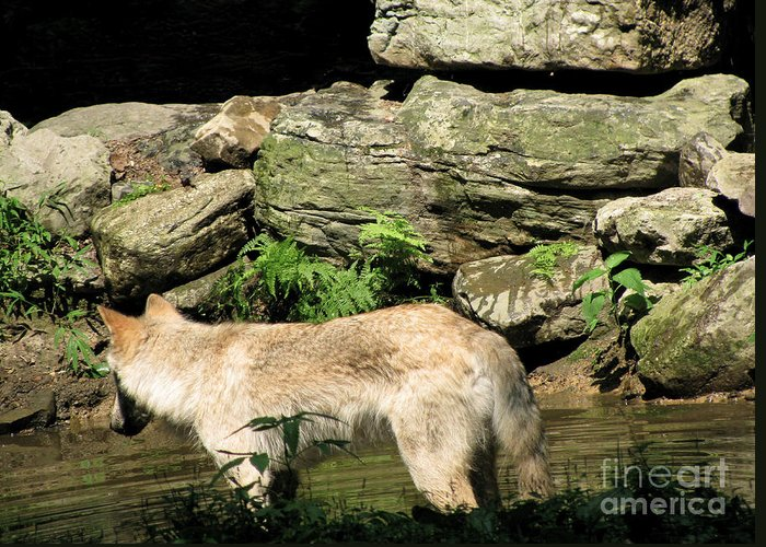 Water Park Greeting Card featuring the photograph The Wild Wolve Group A by Debra   Vatalaro