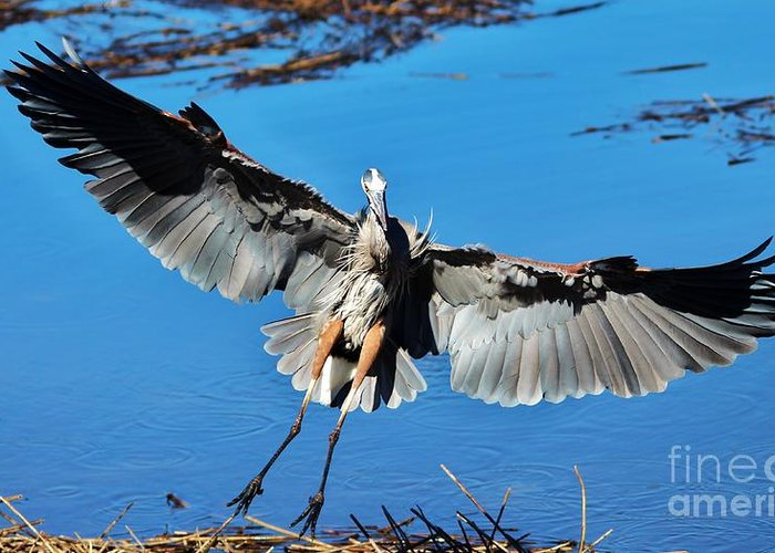 Great Blue Heron Greeting Card featuring the photograph Great Blue Heron by Paulette Thomas