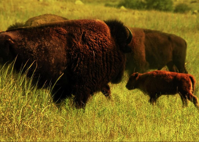 Bisons Greeting Card featuring the photograph Bisons by Iris Greenwell