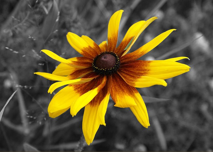 Asteraceae Greeting Card featuring the photograph Black Eyed Susan by Lisa Hebert