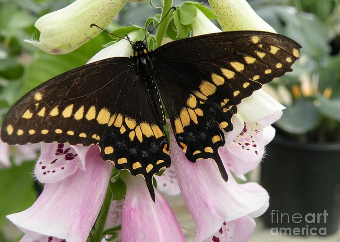 Black Greeting Card featuring the photograph Black Swallowtail Butterfly by Joanne Young