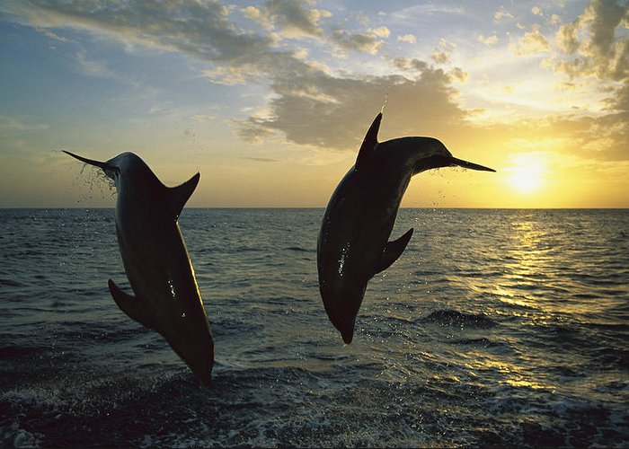 Mp Greeting Card featuring the photograph Bottlenose Dolphin Tursiops Truncatus by Konrad Wothe