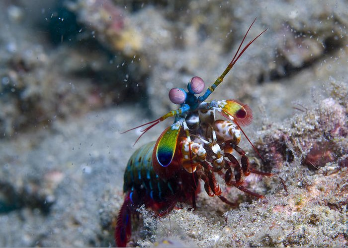 Invertebrate Greeting Card featuring the photograph Close-up View Of A Mantis Shrimp, Papua by Steve Jones