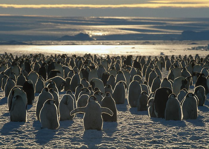 Mp Greeting Card featuring the photograph Emperor Penguin Aptenodytes Forsteri by Pete Oxford
