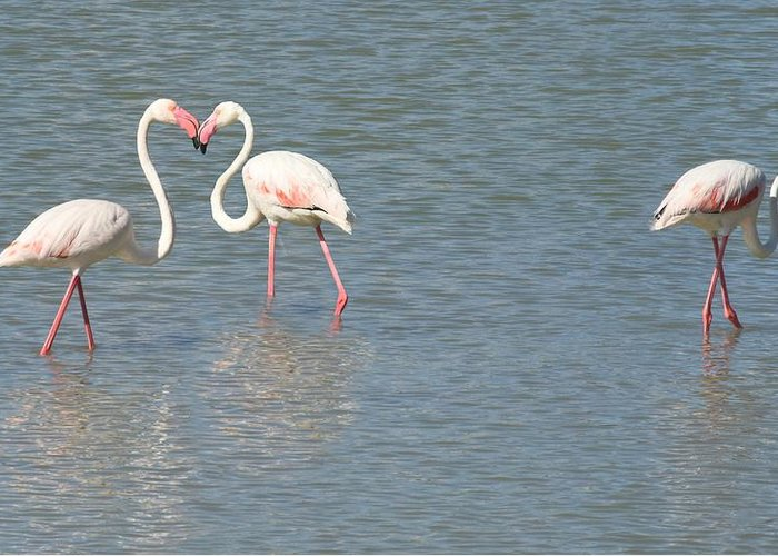 Flamingo Greeting Card featuring the photograph Flamingos by FL collection