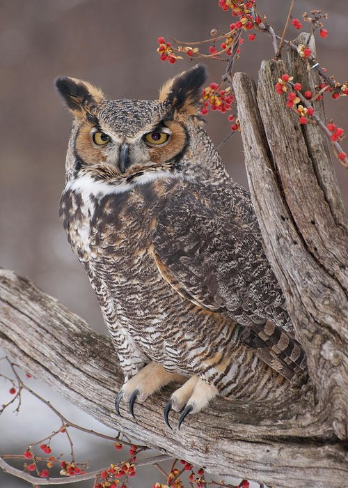 Great Horned Owl Greeting Card featuring the photograph Great Horned Owl by Cindy Lindow