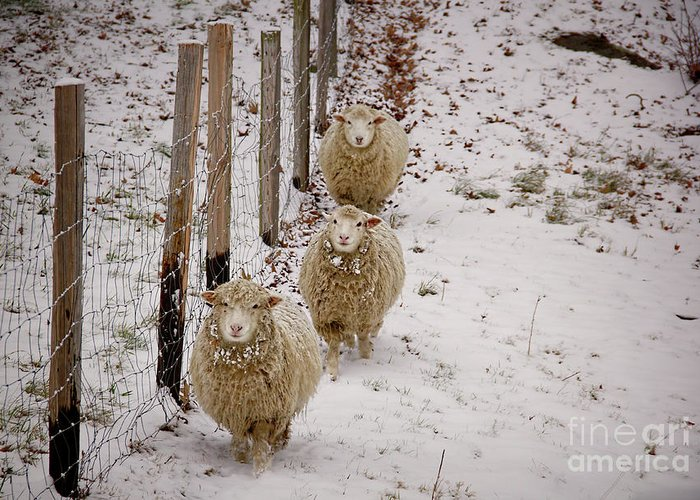Sheep Greeting Card featuring the photograph 3 Happy Sheep by Diana Nault