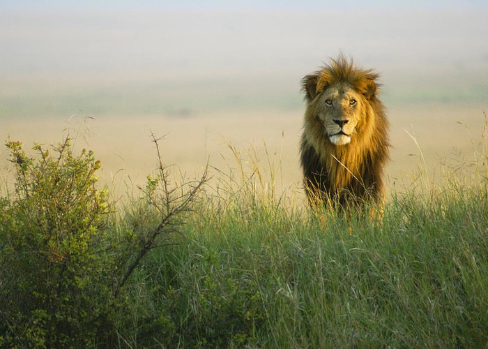 Lion Greeting Card featuring the photograph King Of The Savanna by Michele Burgess