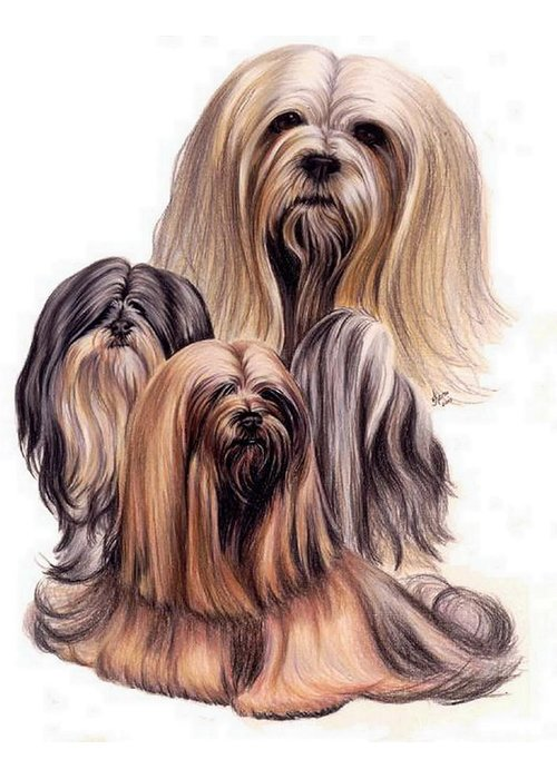 Purebred Greeting Card featuring the drawing Lhasa Apso Triple by Barbara Keith