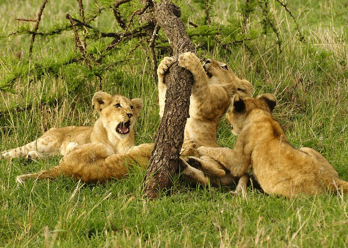 Lion Greeting Card featuring the photograph Playtime by Michele Burgess