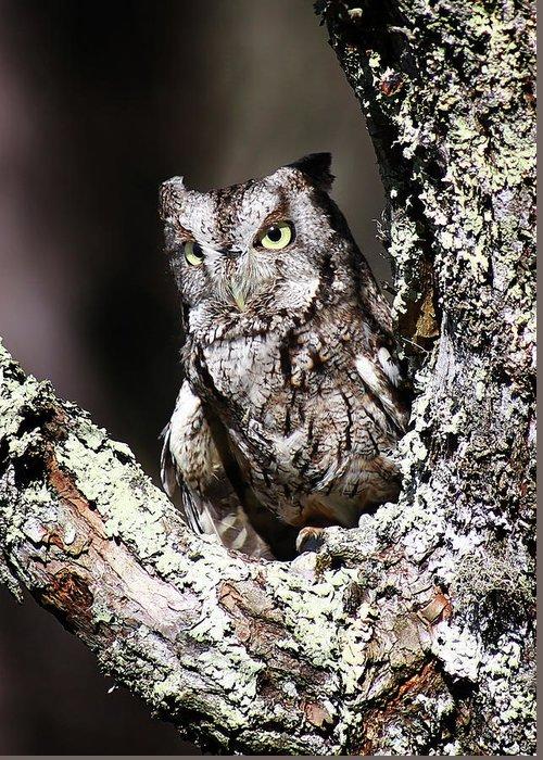 Screech Owl Greeting Card featuring the photograph Screech Owl by SC Shank