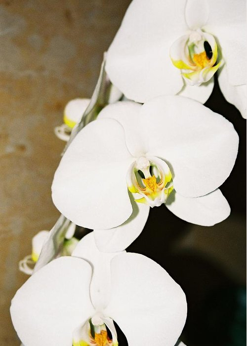White Orchids Greeting Card featuring the photograph 3 White Orchids by Lauri Novak