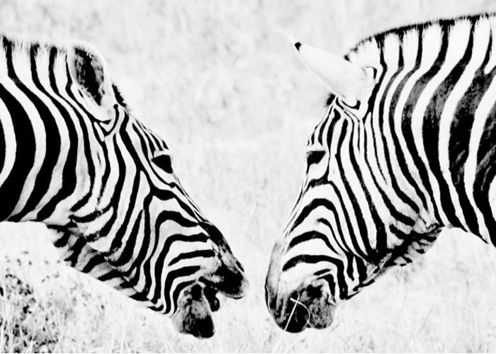 Animal; Zebra; Wildlife; South Africa; Swartland; Rural; Stripes; Black; White; Morning; Light; Art Greeting Card featuring the photograph Zebra Art by Werner Lehmann