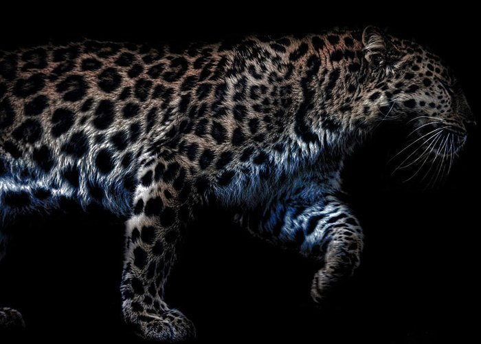 Leopard Photographs Greeting Cards