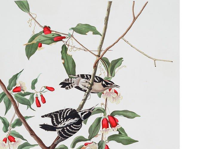Audubon Greeting Card featuring the drawing Downy Woodpecker by John James Audubon