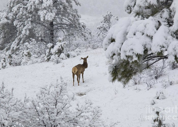 Elk Greeting Card featuring the photograph Elk In Deep Snow In The Pike National Forest by Steve Krull
