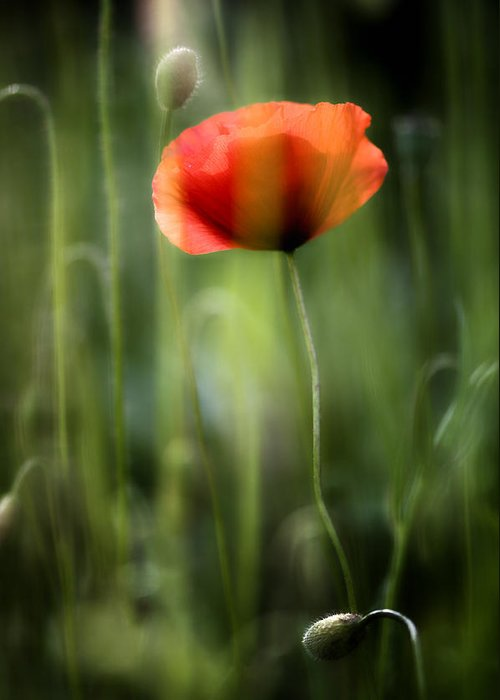 Flower Greeting Card featuring the photograph Poppy by Silke Magino